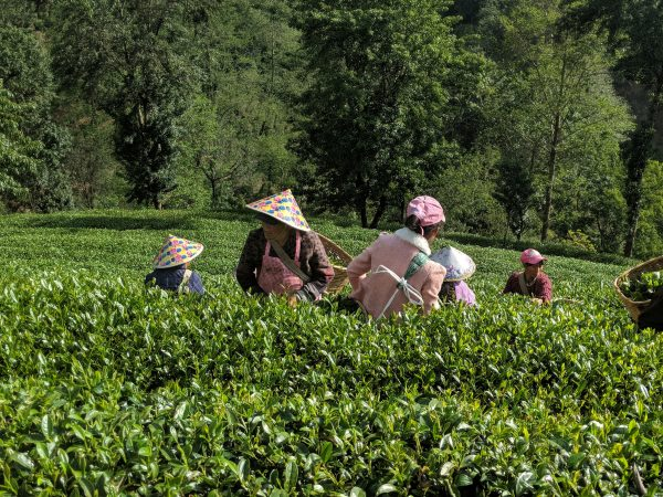April 2018 Tea Harvest Huaqing