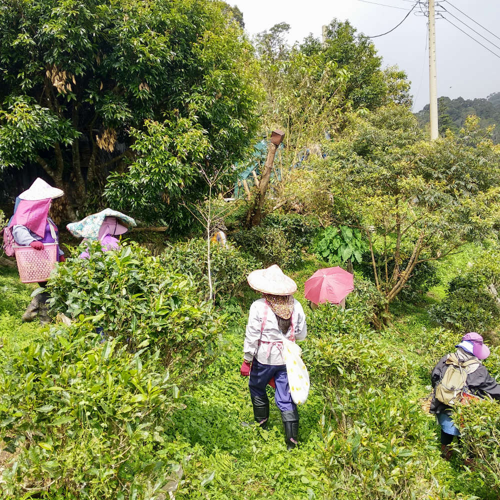 Taiwanese Winter Harvest by hand winter 2018