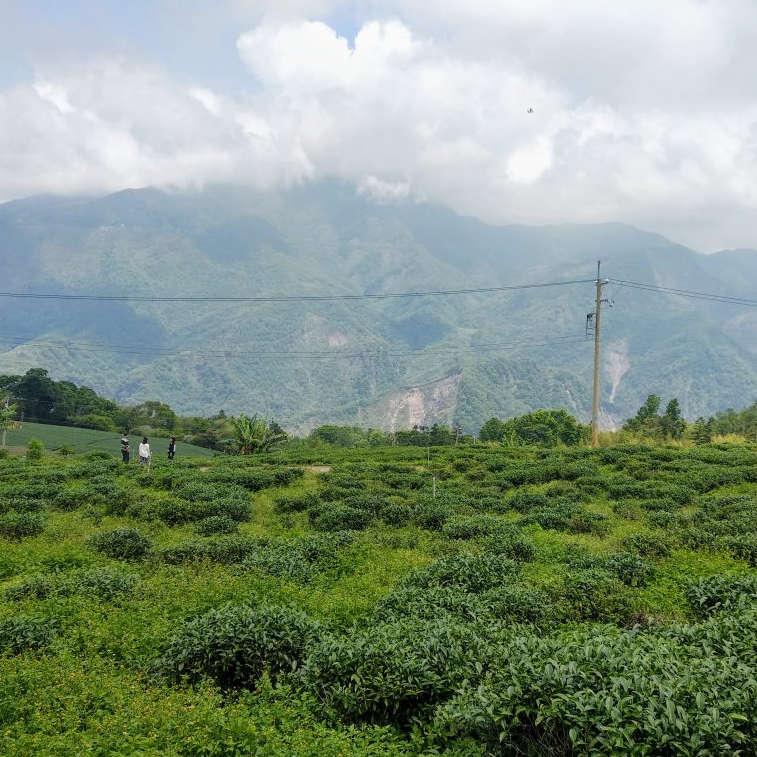Tea field in a valley behind Alishan Mountain