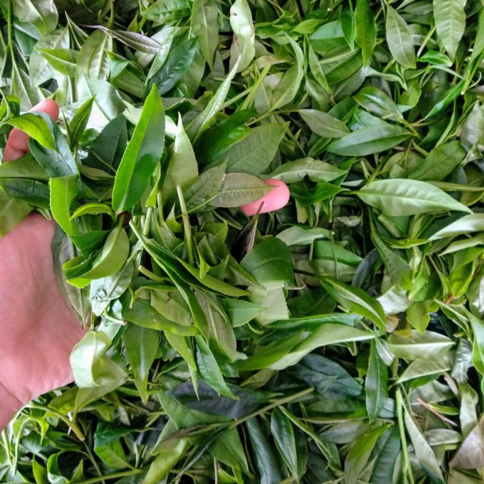 Close up on freshly harvested tea leaves from Taiwan