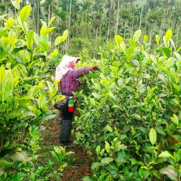 Black Tea Harvest 2020