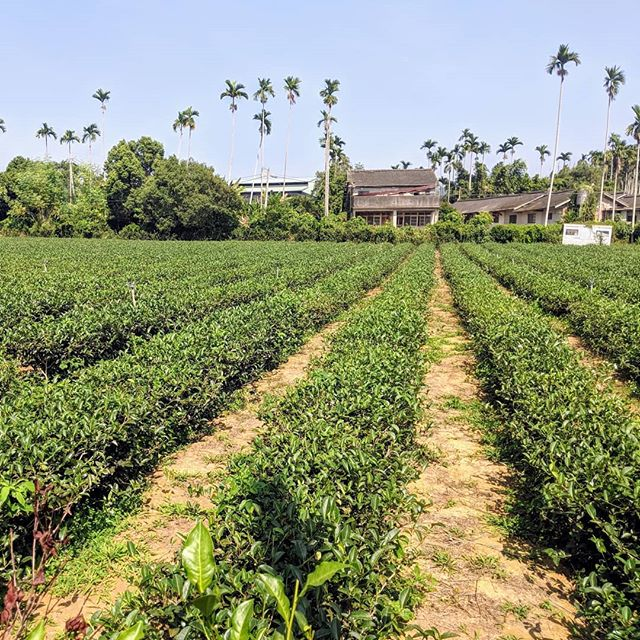 Four Seasons cultivar in Nantou a farm style tea