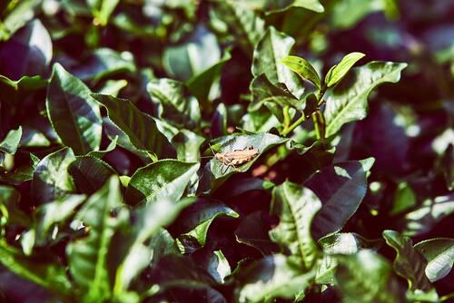 Grasshopper on tea leaves