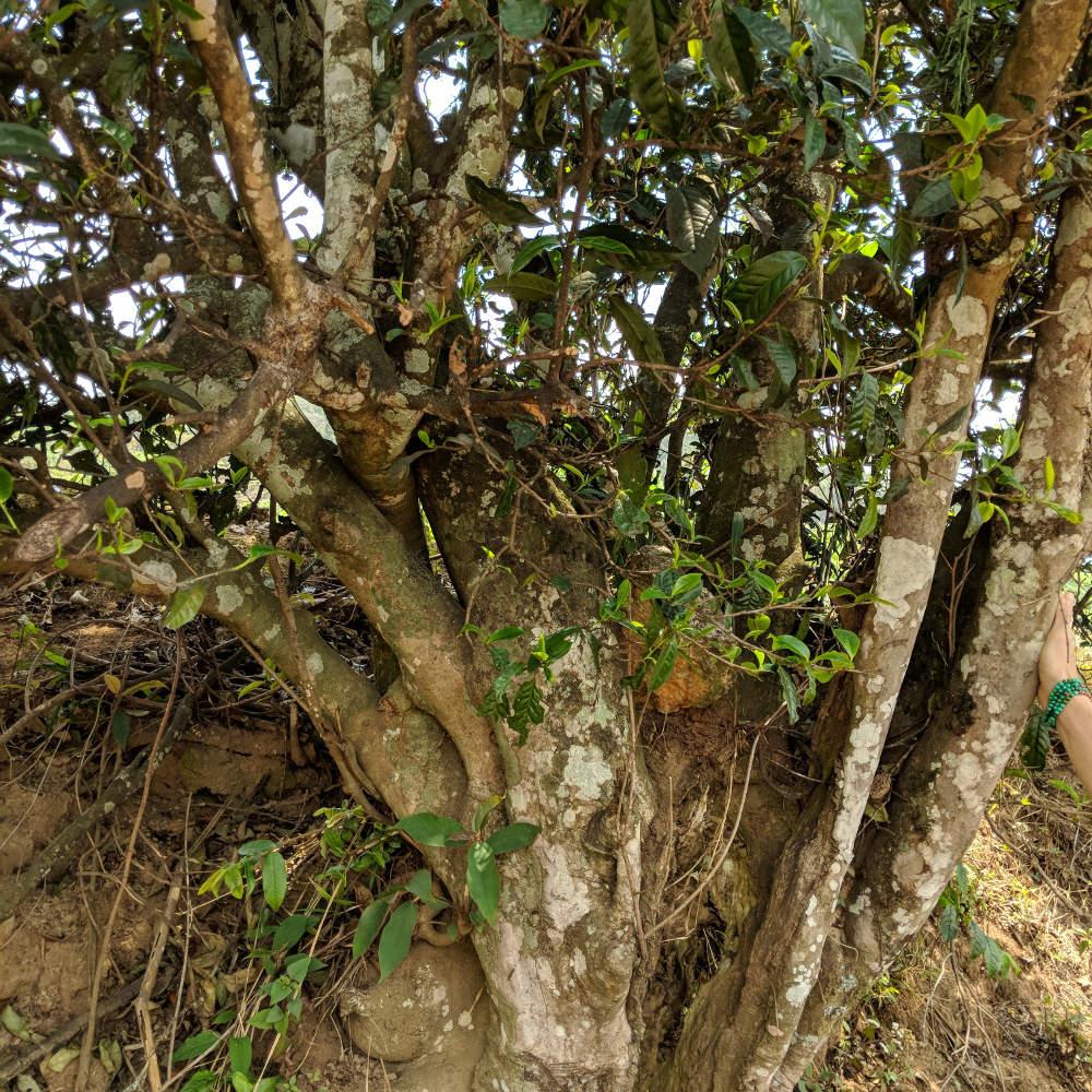Puerh Tea Tree Close Up
