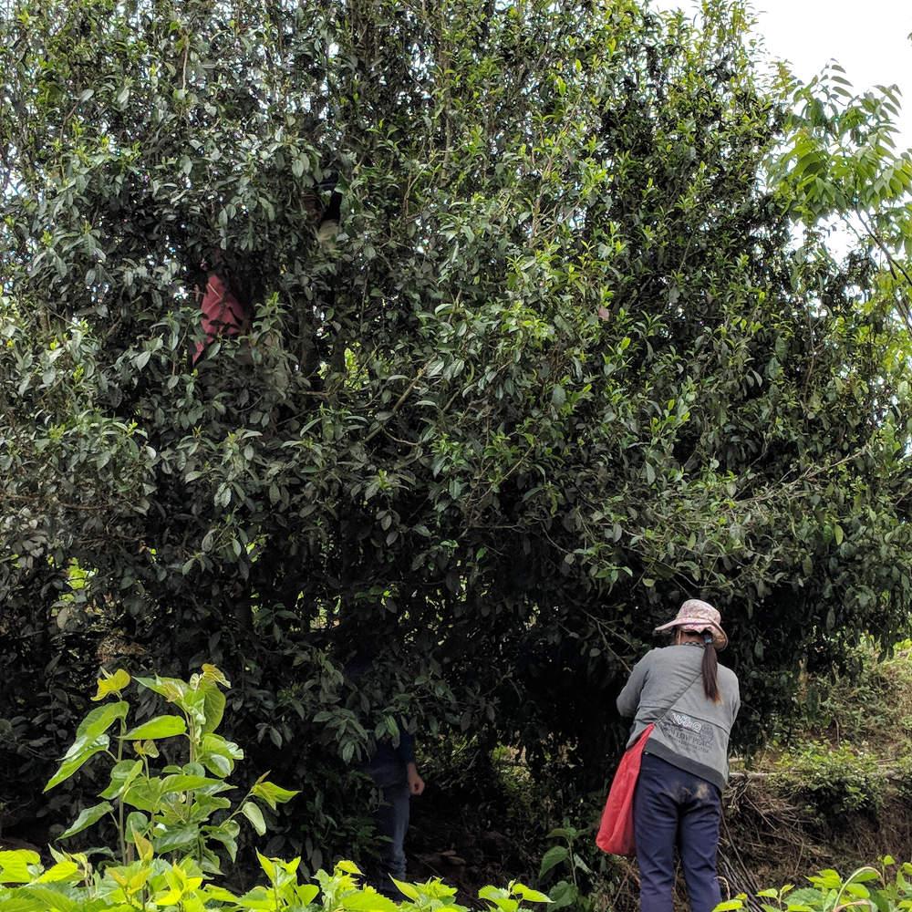 Puerh Tea Tree