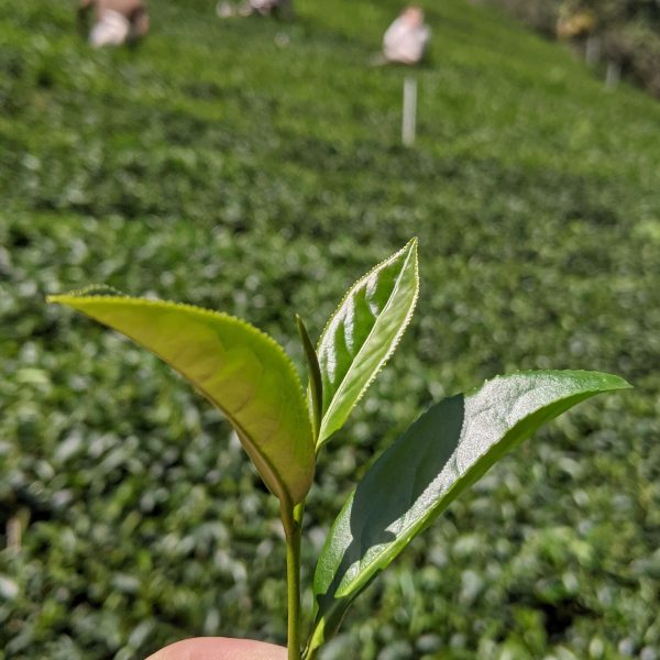 During the harvest - Qingxin Oolong leaves